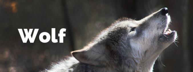 wolf wilk pod łóżkiem